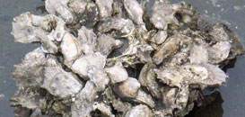 Oyster Mapping Program