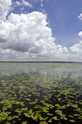 Water lilies on Lake Myakka
