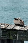 """Sitting Pelican"" A pelican sitting on a small dock under the John Ringling Parkway Bridge."